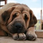 Московским ветеринарам удалось спасти мастиффа, съевшего рюмку