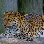 В московском зоопарке поселится дальневосточный леопард Николай