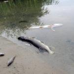 По факту гибели 40 000 рыб в реке Пахра возбуждено уголовное дело