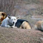 Под Истрой собаки насмерть загрызли  человека